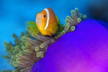Portrait of Maldives anemonefish (Amphiprion nigripes) with its host magnificent sea anemone (Heteractis magnifica) on a coral reef. Laamu Atoll, Maldives. Indian Ocean