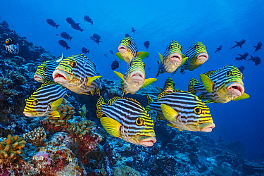 School of Oriental sweetlips (Plectorhinchus vittatus) gather tightly together as they rest during the day, with a Clown triggerfish (Balistoides conspicillum) and Midnight snappers (Macolor macularis...