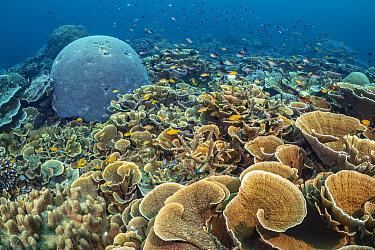 Rich coral garden with hard corals (Montipora sp), Brain coral (Goniastrea sp, Lobophytum sp.) and lots of Lemon damsel (Pomacentrus moluccensis) and Ternate chromis fish (Chromis ternatenis). Ruvus I...