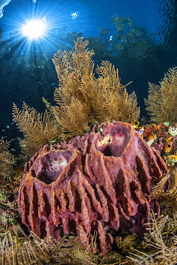 Barrel sponges (Xestospongia testudinaria) grow in shallow water, surrounded by hydroids (Aglaophenia cupressina), in shallow water beneath trees and sun burst. The Passage betweeb Waigeo Island and G...