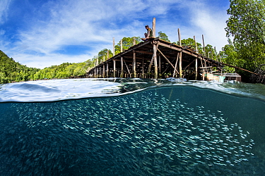 Silversides (Atherinidae) above yellow striped scad (Selaroides leptolepis) schooling below a wooden jetty while a man looks on. Yanggefo Island, Gam Island, Raja Ampat, West Papua, Indonesia. Dampier...