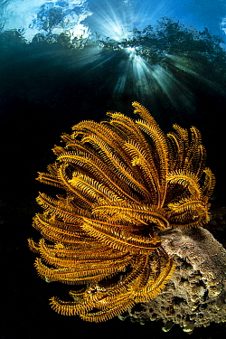 In-camera double exposure of Bennett's feather star (Oxycomanthus bennetti) growing in shallow water beneath trees, with sunburst. The Passage between Waigeo Island and Gam Island, Raja Ampat, Wes...