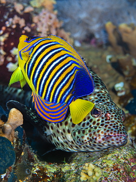 Regal angelfish (Pygoplites diacanthus) spreads its fins and flutters its tail in the face of a predatory snubnose grouper (Epinephelus macrospilos) to chase it from its territory on a coral reef. Ras...