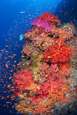 Colourful coral reef wall, with orange scalefin anthias (Pseudanthias squamipinnis) swarming over red, orange and pink soft corals (Dendronephthya sp.) in a current, with a lone bullethead parrotfish...