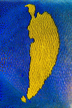Detail of scales and blue and yellow colour pattern of a Goldbar angelfish (Pomacanthus maculosus). Ras Mohammed National Park, Sinai, Egypt. Red Sea