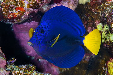 Portrait of a Yellowtail tang (Zebrasoma xanthurum) on a coral reef. This species is endemic to the Red Sea. Abu Dabab Reef, Marsa Alam, Egypt. Red Sea.