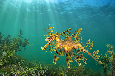 RF - Leafy seadragon (Phycodurus eques) swims over seaweeds and sea grass, beneath sunbeams. South Australia. (This image may be licensed either as rights managed or royalty free.)