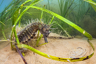 Spiny seahorse (Hippocampus guttulatus) adult female in a meadow of (Zostera marina) seagrass. Studland Bay, Dorset, England, United Kingdom. English Channel, North East Atlantic Ocean.