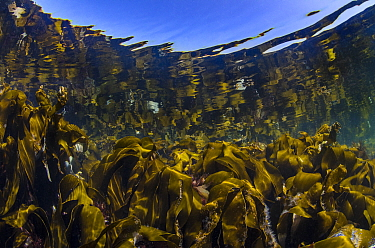 RF - Reflections of a kelp forest (Laminaria hyperborea) in shallow water. Farne Islands, Northumberland, England, United Kingdom. North Sea. (This image may be licensed either as rights managed or ro...
