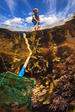 Boy searches a rock pool for creatures with a shrimping net. Falmouth, Cornwall, England, UK. Model released.