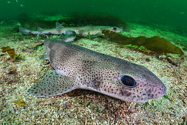 Two lesser spotted catsharks (Scyliorhinus canicula) resting on the seabed in a channel between two islands. Shetland Islands, Scotland, British Isles. North East Atlantic Ocean.
