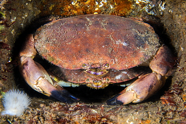 Edible crabs / brown crab (Cancer pagurus) shelter in the structure of the Wreck of the Rosalie This is probably a larger male guarding a female prior to mating. This species, in this region is known...
