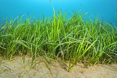 Seagrass meadow ( Zostera marina). Swanage, Dorset, England, United Kingdom. English Channel. North East Atlantic