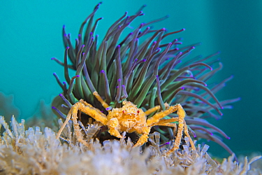 Leach's spider crab (Inachus sp.) living symbiotiocally, sheltering beneath the stinging tentacles of Snakelocks anemone (Anemonia viridis). Swanage, Dorset, England, United Kingdom. English Chann...