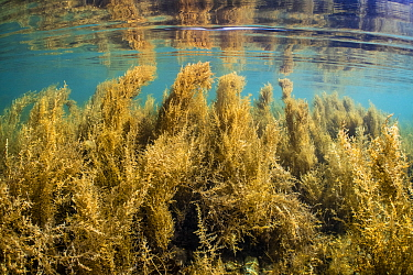 Dense coverage of invasive wireweed (Sargassum muticum) in shallow water is reflected in the surface. Swanage, Dorset, England, United Kingdom. English Channel. North East Atlantic