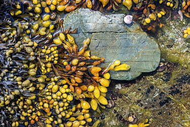 Spiral wrack (Fucus spiralis) with fruiting bodies photographed in a rock pool, with common periwinkle (Littorina littorea). Looe, Cornwall, England, United Kingdom. English Channel, North East Atlant...