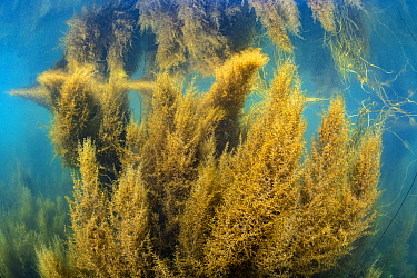 Dense growth of invasive wireweed (Sargassum muticum) is reflected in the surface of the sea. Looe, Cornwall, England, United Kingdom. English Channel, North East Atlantic.