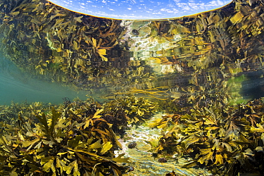 Serrated wrack (Fucus serratus) reflected in the surface as it grows in a rockpool. Looe, Cornwall, England, United Kingdom. English Channel, North East Atlantic.