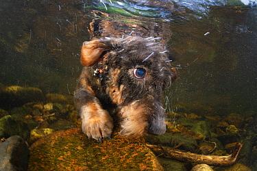 Wire hair dachshund dog dives underwater searching for a stick. River Tavy. Devon, England, United Kingdom.