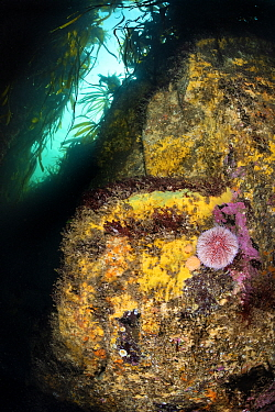Colourful encrusting life and common sea urchin (Echinus esculentus) beneath kelp forest (Laminaria hyperborea). Farne Islands, Northumberland, England, United Kingdom. North Sea.