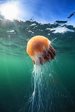 Large Lion's mane jellyfish ( Cyanea capillata) swims close to the surface in the sun. Farne Islands, Northumberland, England, United Kingdom. North Sea.