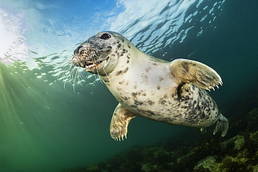 RF - Portrait of Young female Grey seal (Halichoerus grypus) underwater in evening light. Farne Islands, Northumberland, United Kingdom. North Sea. (This image may be licensed either as rights managed...