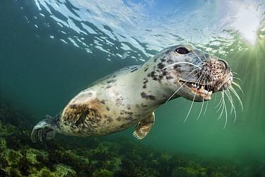 Portrait of Young female Grey seal (Halichoerus grypus) in evening light. Farne Islands, Northumberland, England, United Kingdom. North Sea.