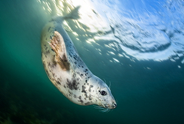 Portrait of Young female Grey seal (Halichoerus grypus) in evening light. Farne Islands, Northumberland, England, United Kingdom. North Sea
