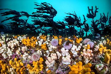 RF - Colourful soft corals / Dead man's fingers (Alcyonium digitatum) and common sea urchins (Echinus esculentus) mass beneath a Cuvie kelp forest (Laminaria hyperborea). St Abbs, Scotland, United...