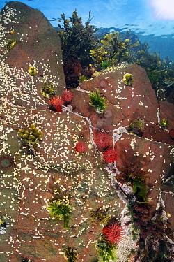 Acorn barnacles (unidentifed), Red beadlet anemones (Actinia equina) and Common limpets (Patella vulgata). Farne Islands, Northumberland, England, United Kingdom. North Sea