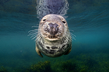 RF - Portrait of a female Grey seal (Halichoerus grypus) in shallow water. Farne Islands, United Kingdom. North Sea (This image may be licensed either as rights managed or royalty free.)