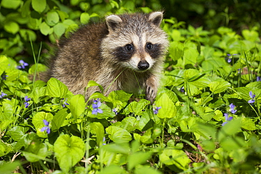 Raccoon (Procyon lotor) cub aged approximately five weeks sitting amongst Violets (Viola sp). Connecticut, USA. May.
