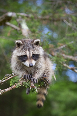 Raccoon (Procyon lotor) cub aged approximately five weeks sitting in tree. Connecticut, USA. May.