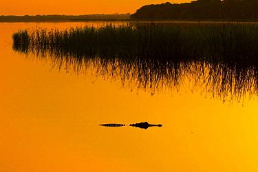 American alligator (Alligator mississippiensis) in Upper Myakka Lake at sunrise. Sarasota, Florida, USA. June.