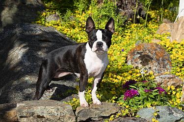 Boston Terrier standing on rocks in garden. Montana, USA. July.