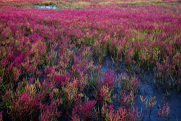 Glasswort (Salicornia sp) turning salt marsh along tidal river pink in autumn. Long Island Sound, Madison, Connecticut, USA. September.