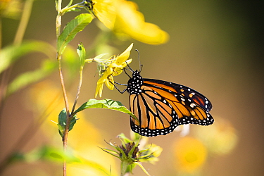 Monarch butterfly (Danaus plexippus) nectaring. Madison, Connecticut, USA, September.
