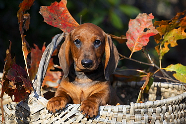 Smooth Dachshund puppy in basket with autumn leaves. Connecticut, USA, October.