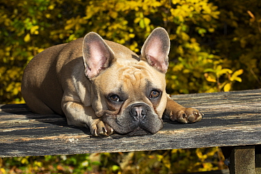 French Bulldog resting lying down in autumn. Connecticut, USA.