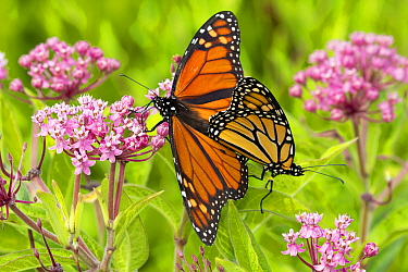 Monarch butterfly (Danaus plexippus) pair mating on Swamp milkweed (Asclepias incarnata). Connecticut, USA. August.