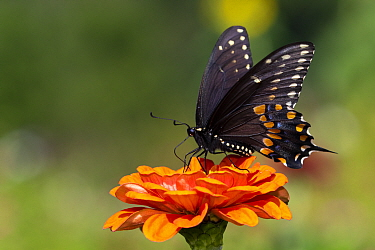 Spicebush swallowtail butterfly (Papilio troilus) nectaring on Zinnia. Connecticut, USA. August.
