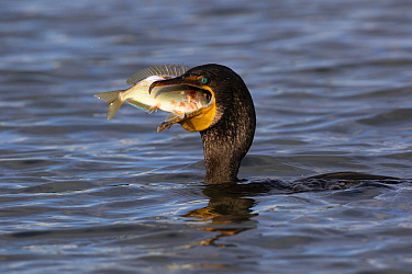Double-crested cormorant (Phalacrocorax auritus) feeding on Blue striped grunt (Haemulon sciurus) fish prey. Tampa Bay, Tierra Verde, Florida, USA, August.