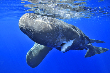 Sperm whale (Physeter macrocephalus) female and calf below surface, female covered in scars. Mauritius.