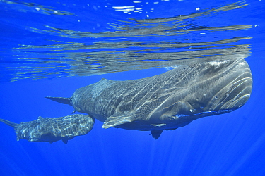 Sperm whale (Physeter macrocephalus) female and calf below surface. Mauritius.
