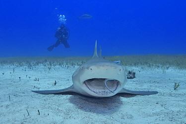 Lemon shark (Negaprion brevirostris) resting on sea floor with Whitefin sharksucker (Echeneis neucratoides) remora cleaning inside mouth, diver in background. Bahamas. 2019.