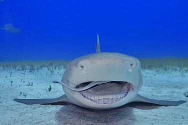 Lemon shark (Negaprion brevirostris) resting on sea floor, Whitefin sharksucker (Echeneis neucratoides) remora cleaning inside mouth. Bahamas.