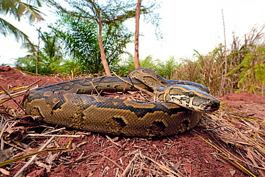 African rock python (Python sebae) portrait, Togo. Controlled conditions