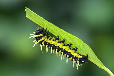 Giant silkworm moth (Epiphora intermedia) caterpillar. Kenya, Africa.
