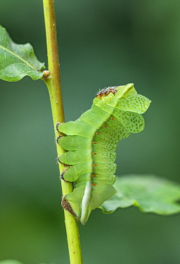 Saturniid moth (Lobobunaea phaedusa) caterpillar, final instar with leaf like appearance. Ashanti Region Ghana, Africa. Cangas de Onis,