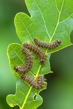 Saturniid moth (Lobobunaea phaedusa) caterpillars on Oak (Quercus sp) leaf, early instar larvae. Ashanti Region Ghana, Africa. Controlled conditions.